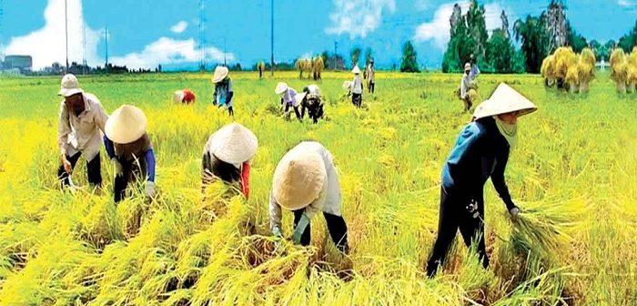 Nghị định số 35/2015/NĐ-CP: Về quản lý, sử dụng đất trồng lúa